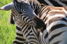 Zebra looking at his own rear.