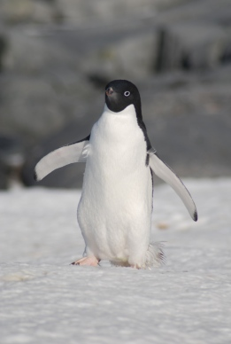 Hello Adelie Penguin:)