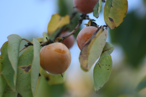Persimmons are getting ripe.