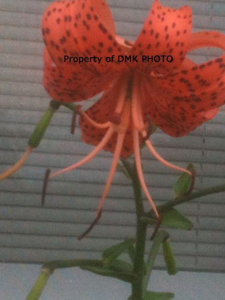 tiger lily watermarked